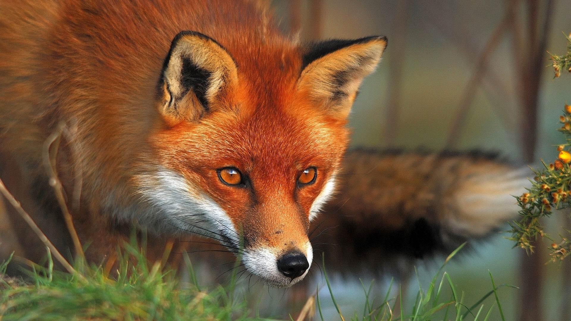 Red Fox Kingdom: Animalia Phylum: Chordata Class: Mammali