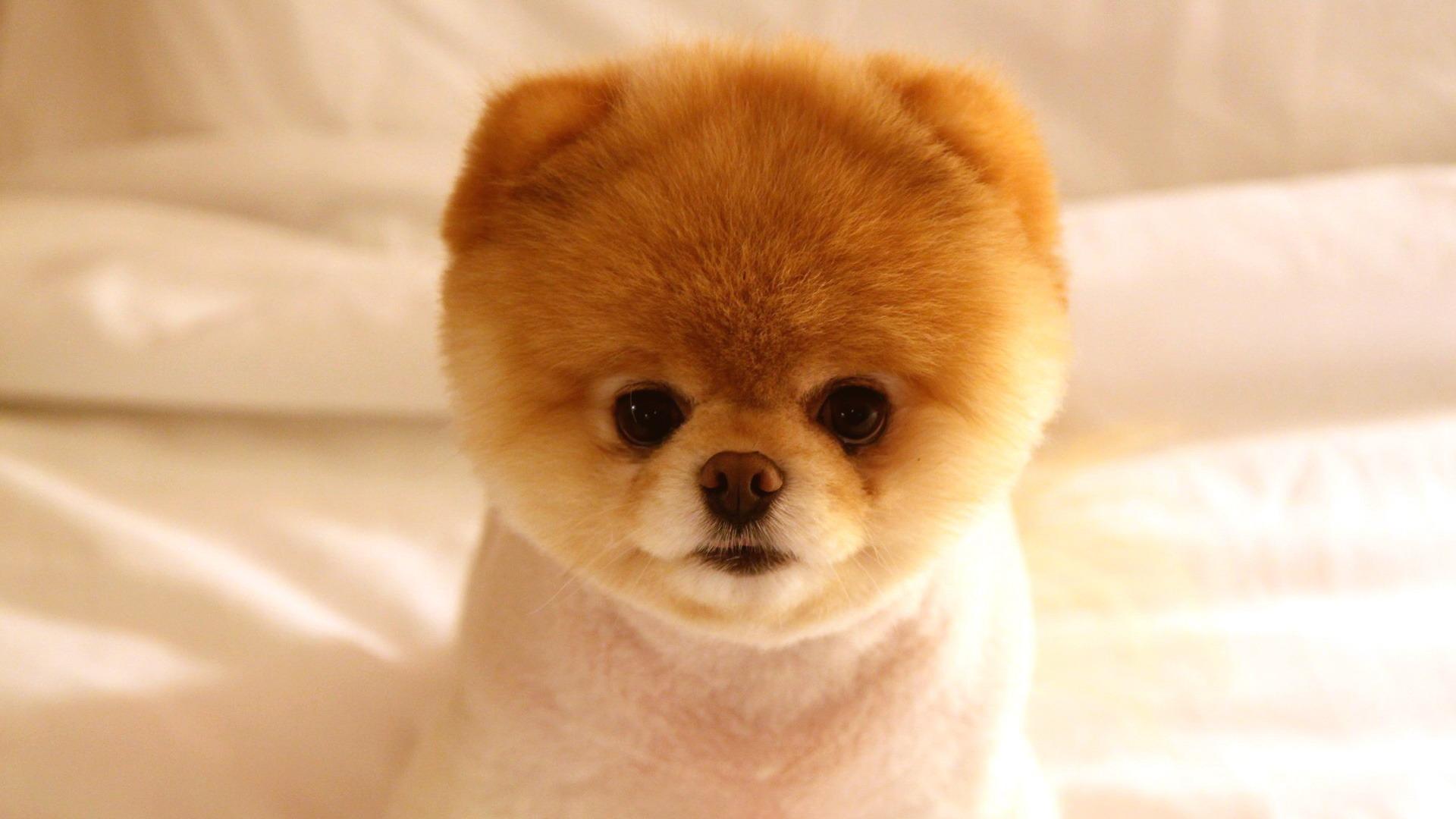 かわいい犬ブー 動物写真の壁紙プレビュー 10wallpaper Com