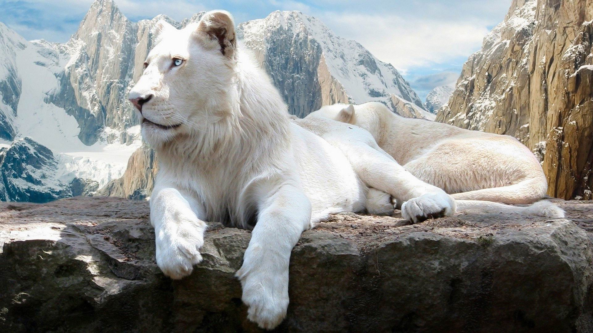 Lion Hd Wallpapers Backgrounds Wallpaper 1920 1080 Picture: 白いライオン-かわいい動物の壁紙プレビュー