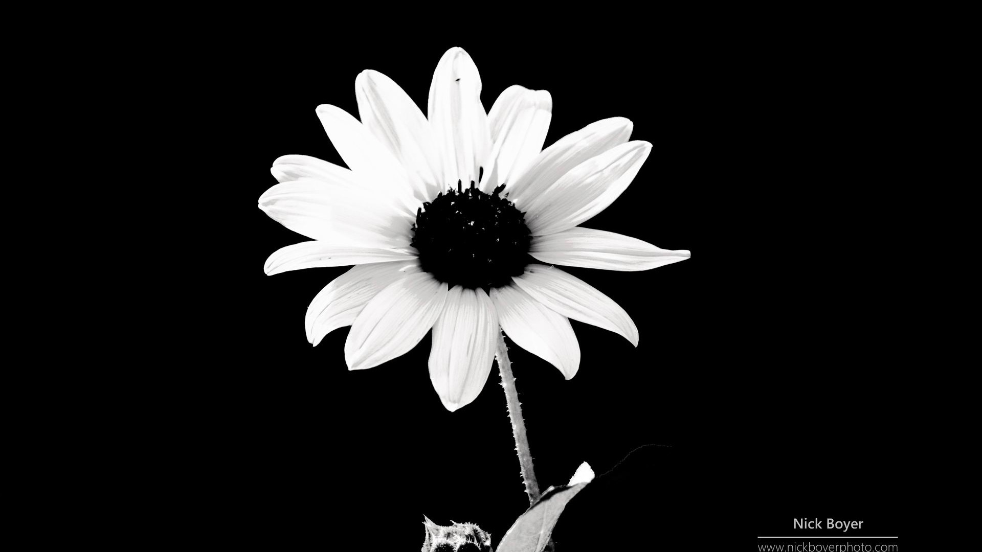 Daisy Flower Black And White Wallpaper marguerites noi...