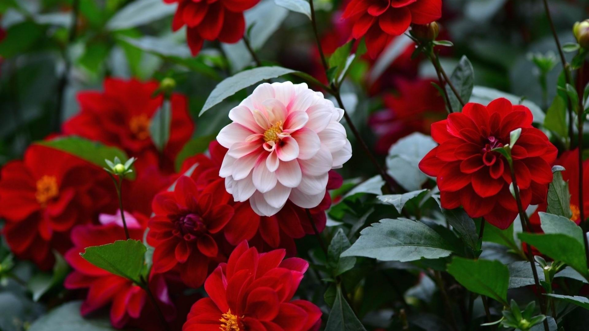 dahlias sharpnessflower photography hd wallpaper preview