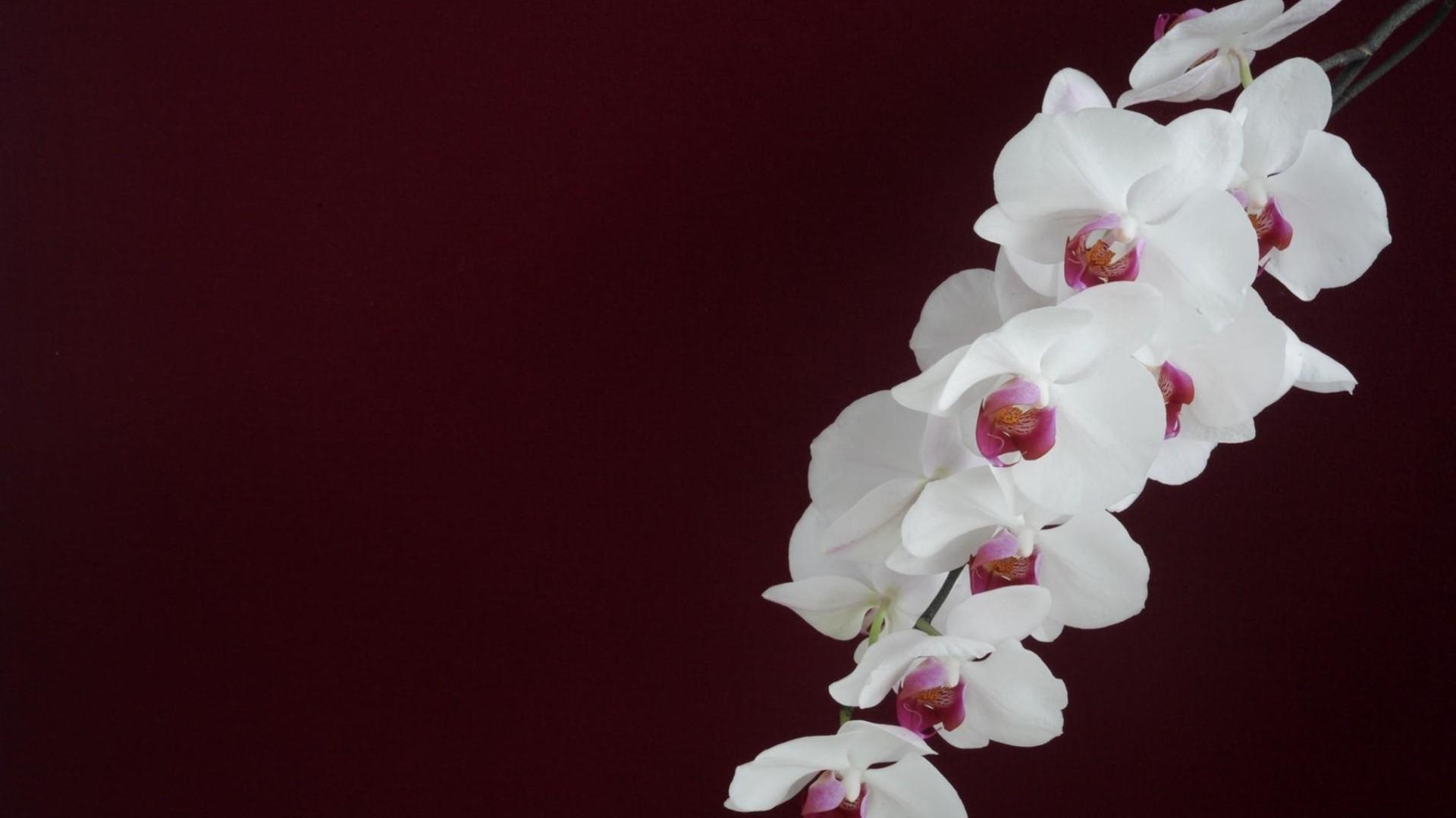 orchid u00e9e blanche branche