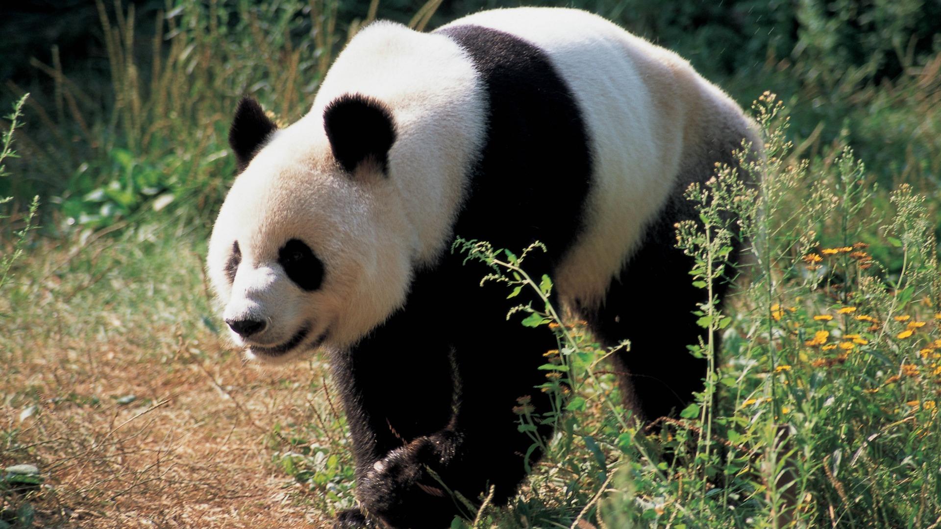 Download Wallpapers Download 2790x2547 Animals Grass: Panda Bear Grass-Animal Photo Desktop Wallpaper-1920x1080
