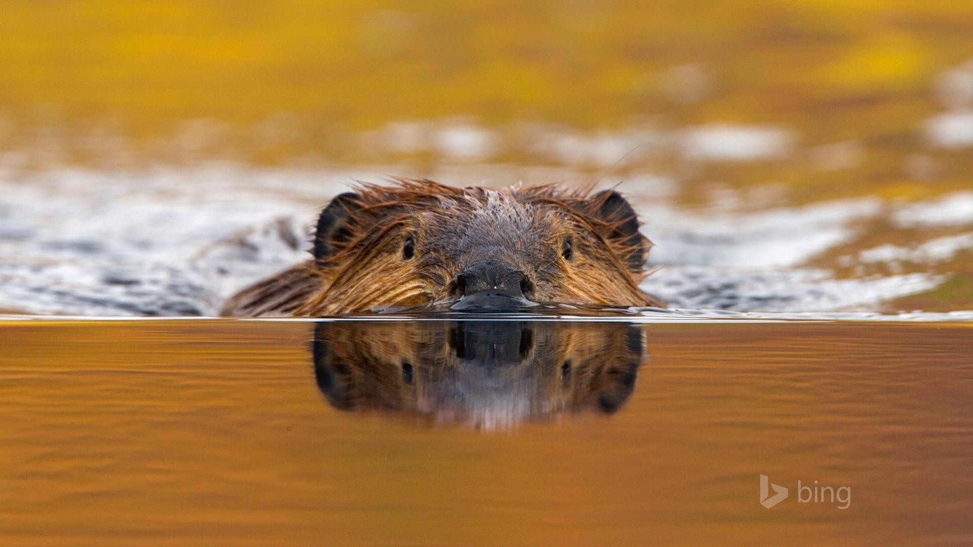 bing animals swimming theme beaver 10wallpaper wallpapers north popular shot resolution