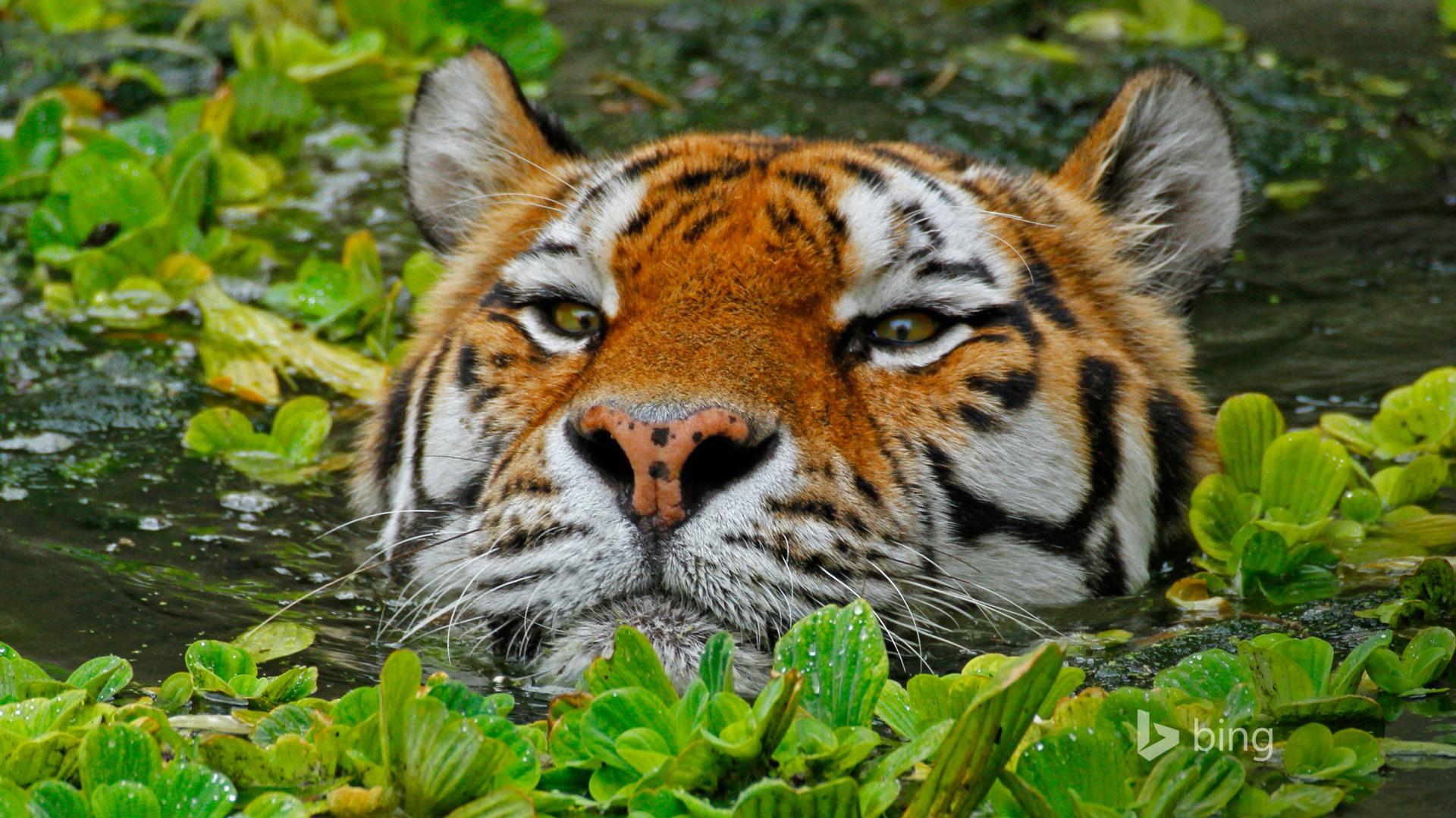 tigre d u0026 39 eau