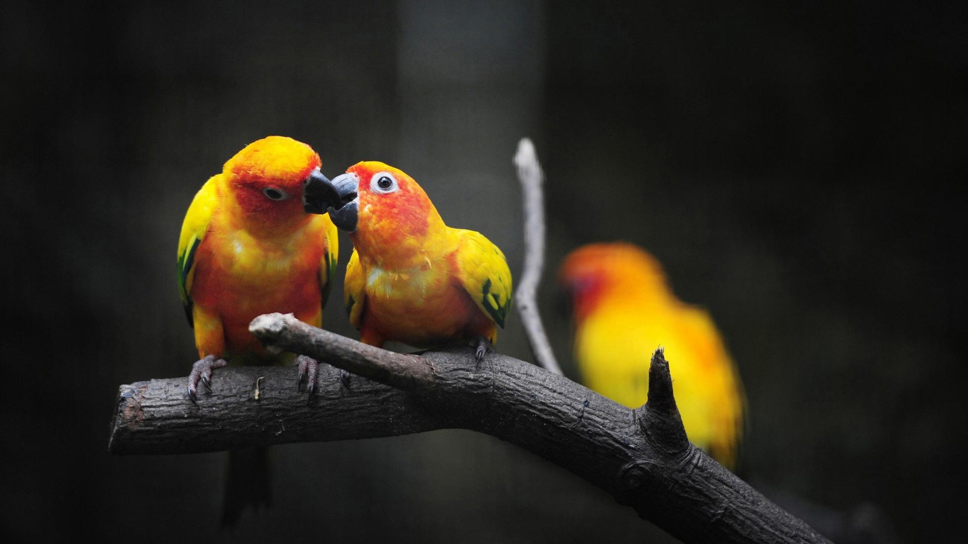 Love Birds Hd Wallpapers: Cute Love Birds Kissing-Photo HD Wallpaper Preview