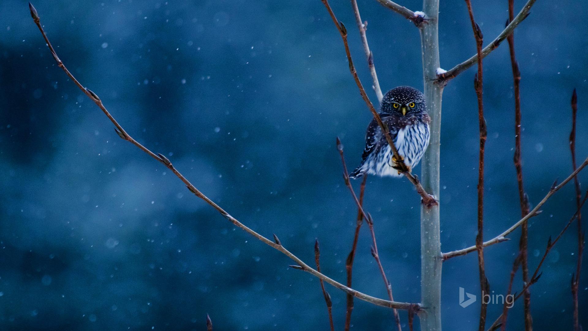 Snow Owl 2015 Bing Theme Wallpaper Preview 10wallpaper Com