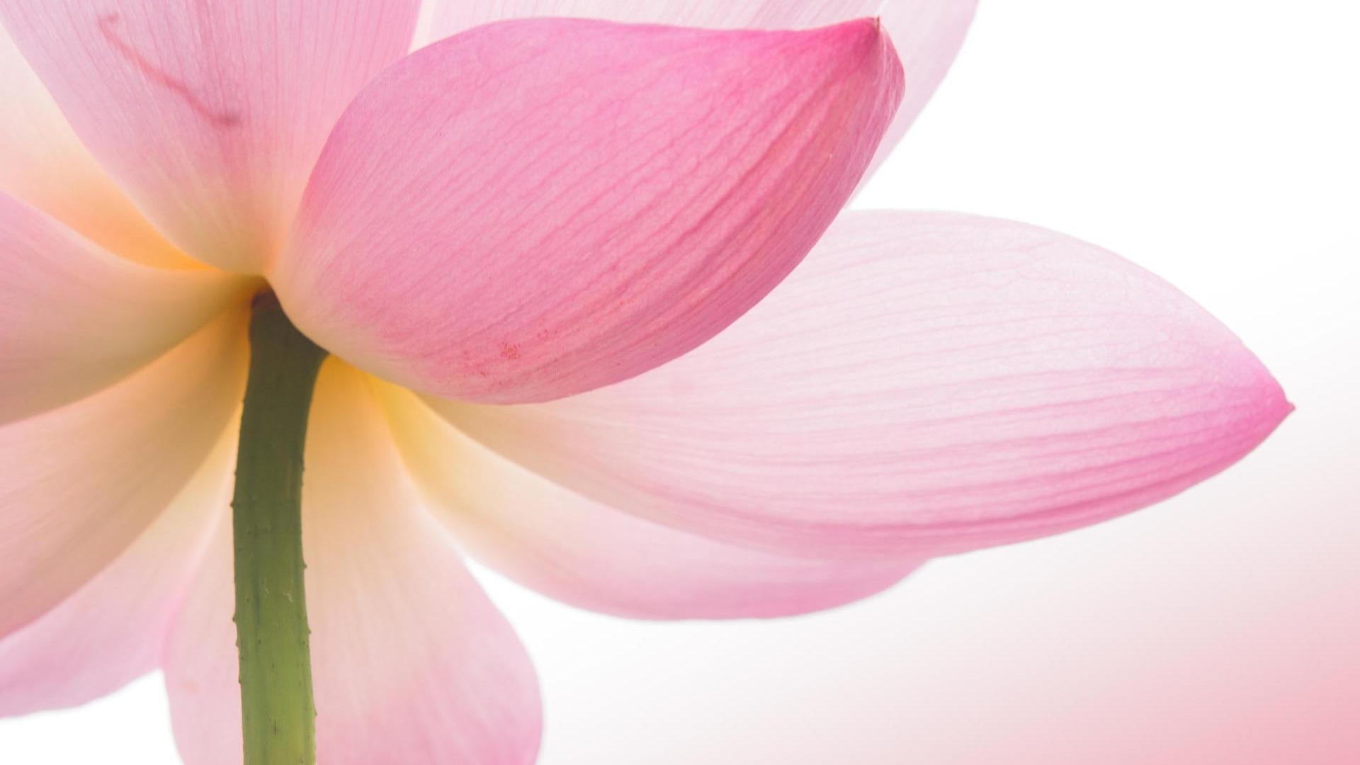 Lotus flower wallpaper design