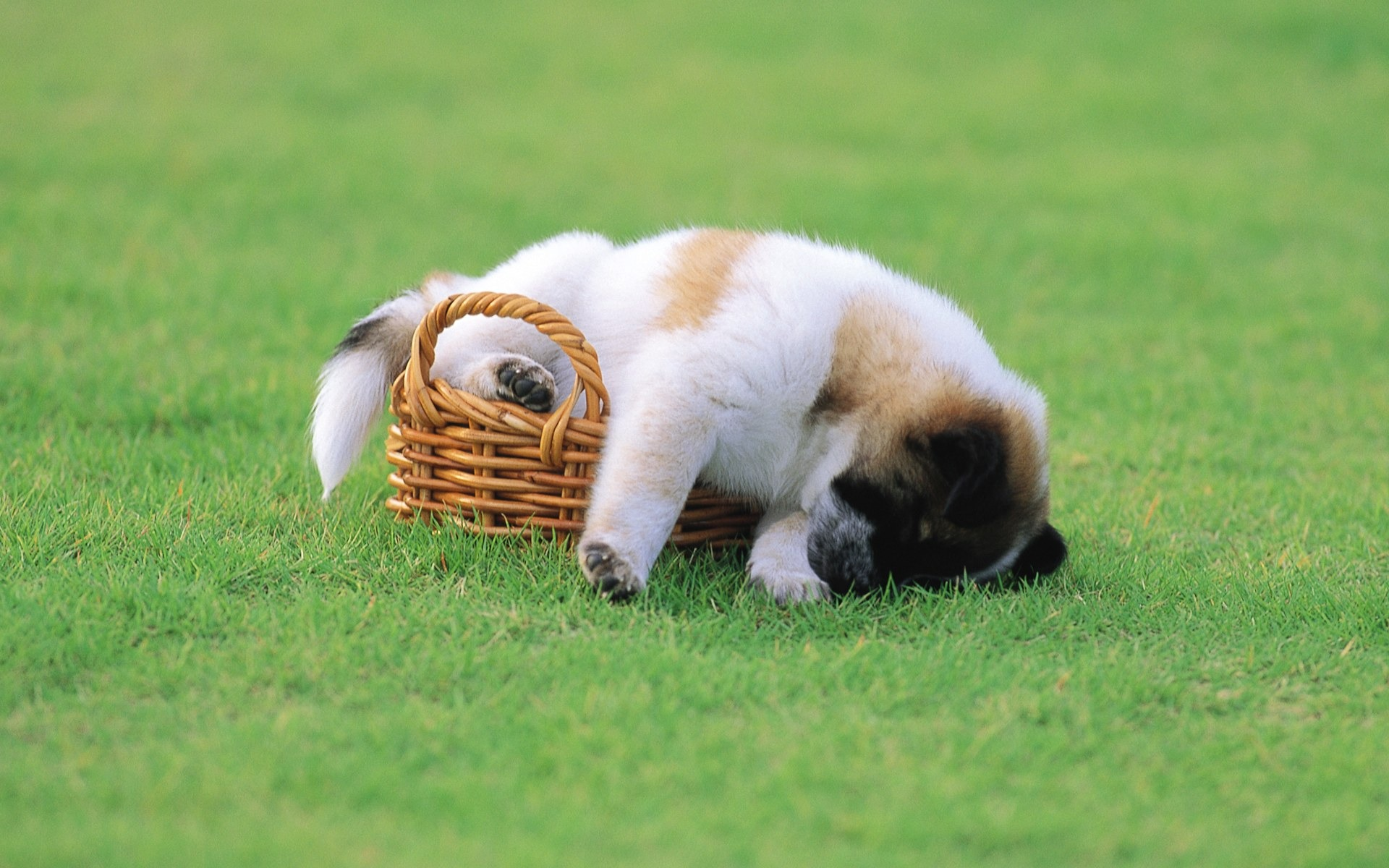cute puppy sleeping on grass wallpaper-lovely puppies preview