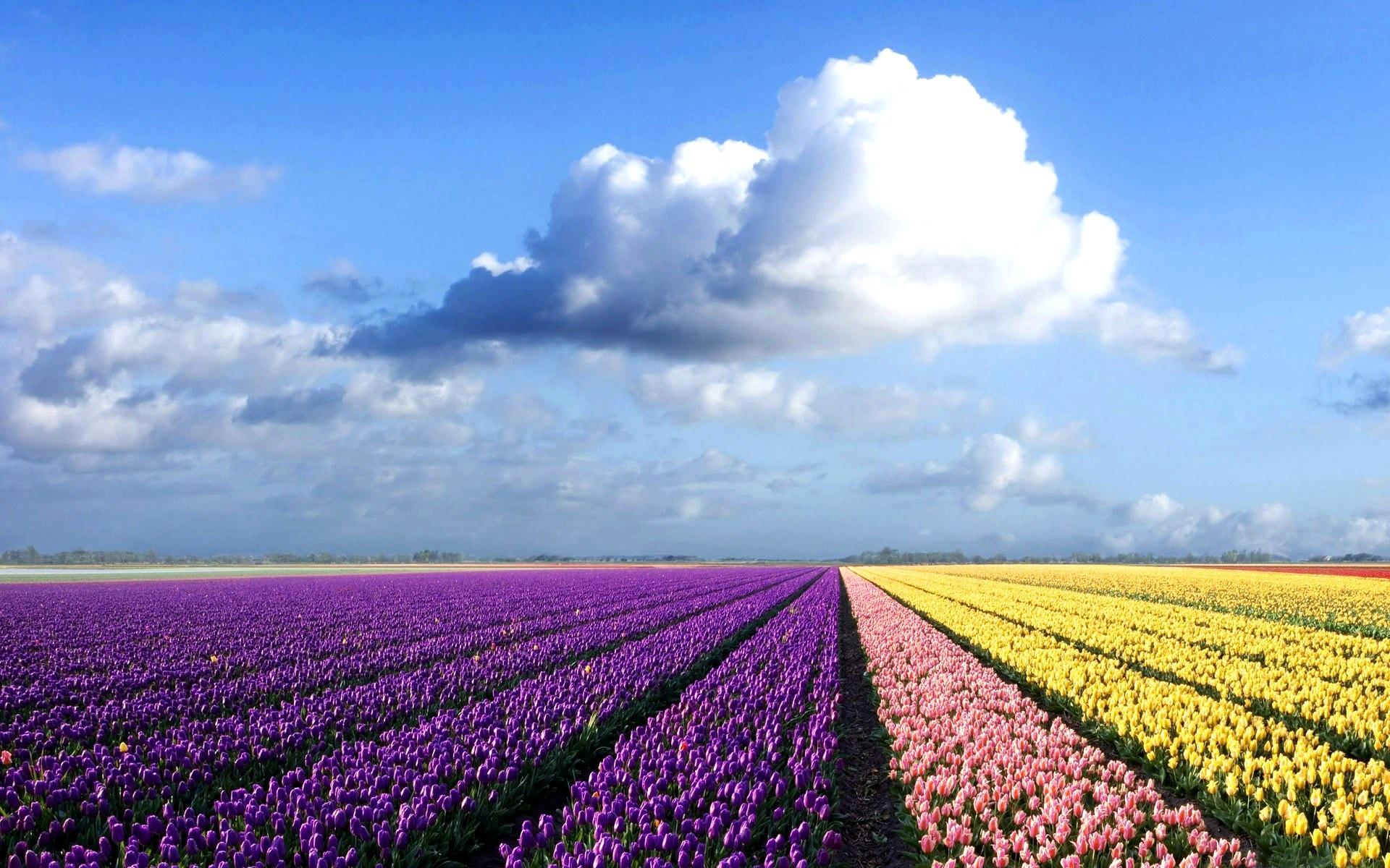 在北海道一个蓝色的天空下的照片flowerfield预览 10wallpaper Com