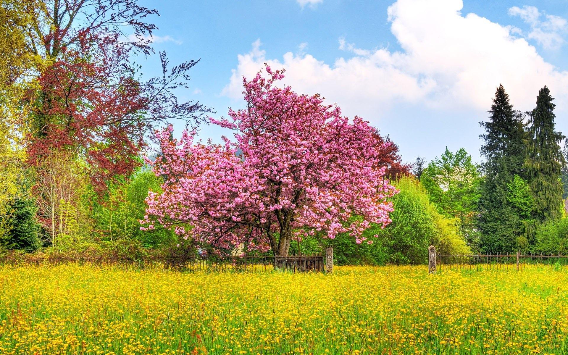 Arbol De Cerezo Japones foto primavera colores - cerezo japonés Árbol avance