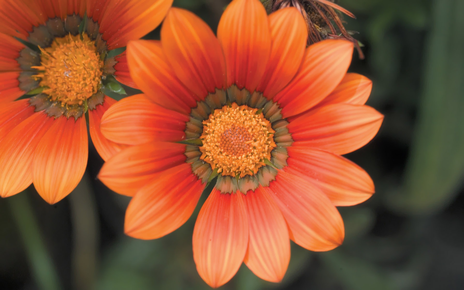 Orange Dahlia Flower Picture Preview 10wallpaper