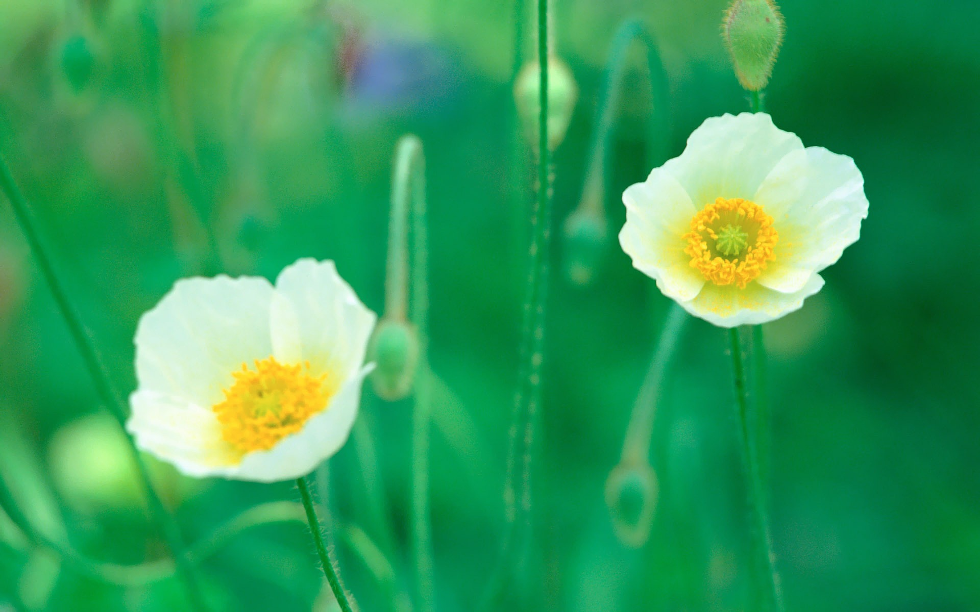 White Poppy Flowers In Field Picture Preview 10wallpaper