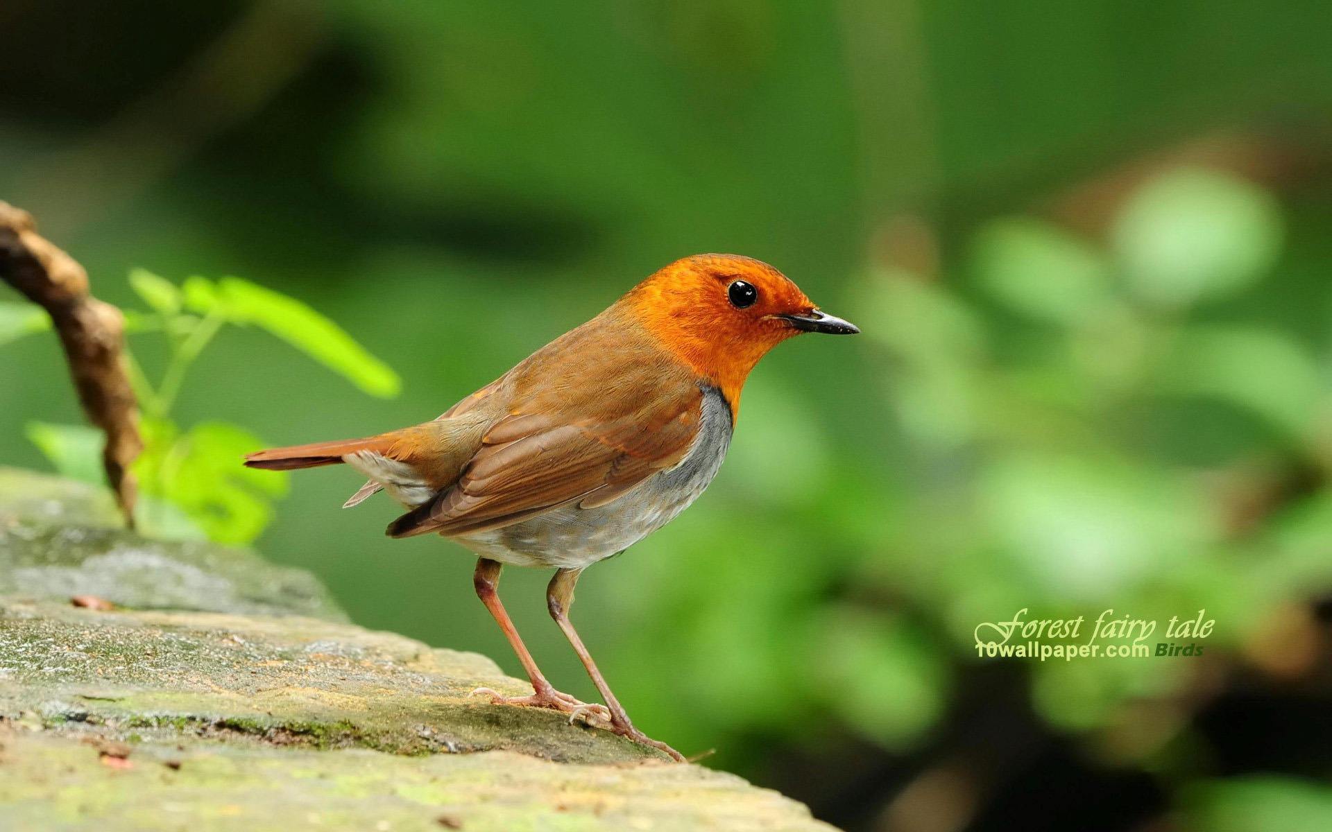 cute_little_bird-Japanese_song_Robin_wallpaper_1920x1200.jpg
