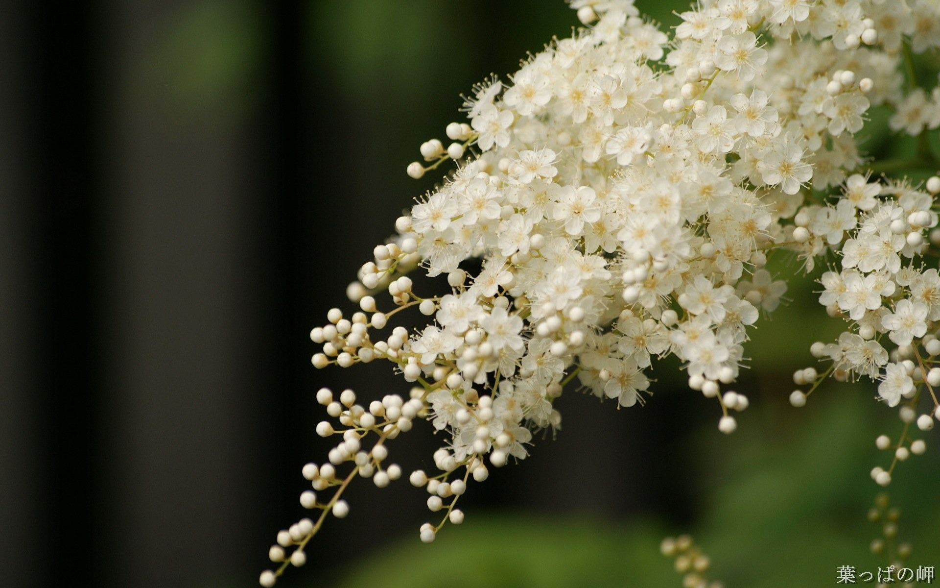 White Jade Flower Hd Flowers Photography Preview 10wallpaper