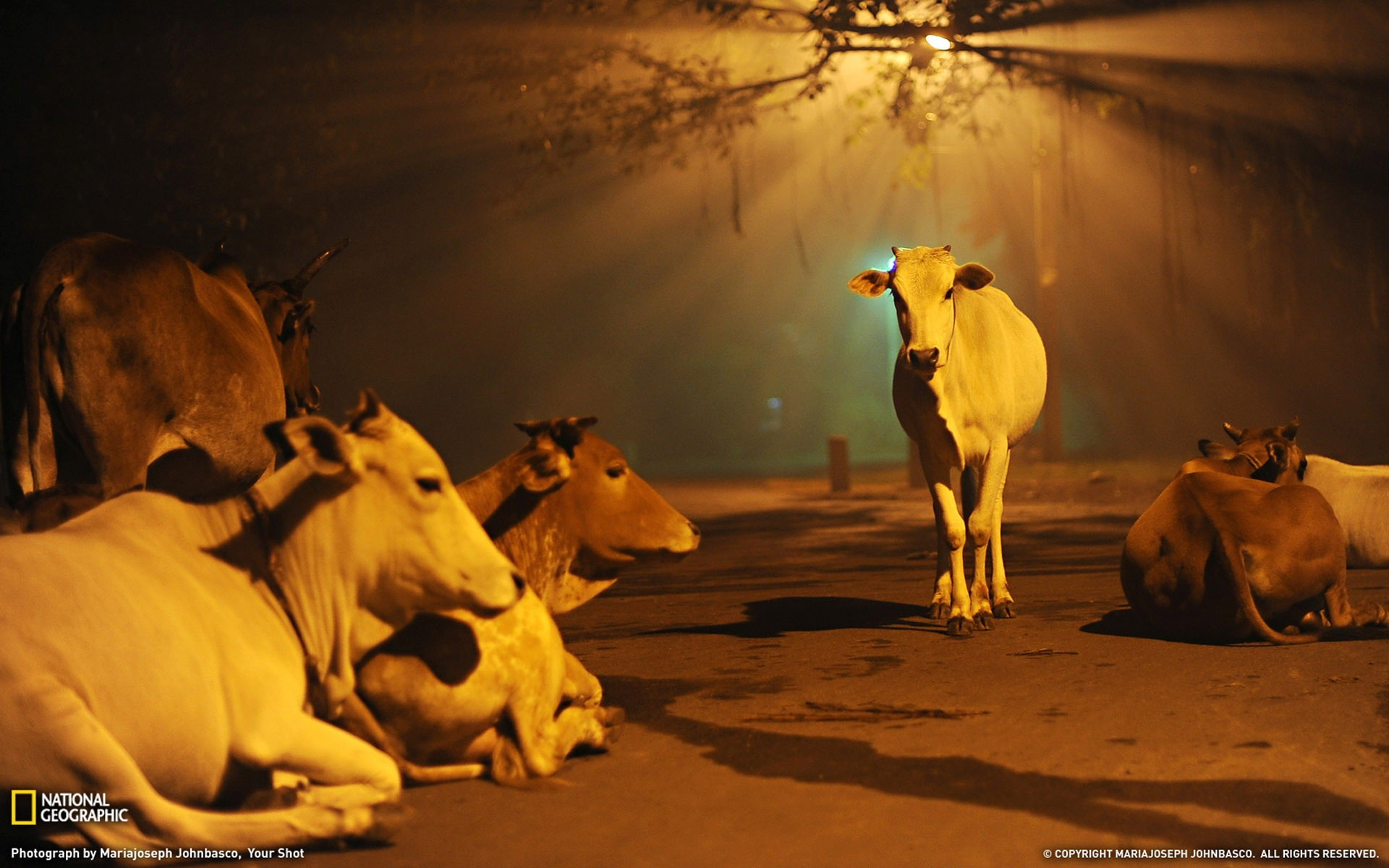 Cows India-National Geographic Best Wallpapers of 2012 - 1920x1200 wallpaper download