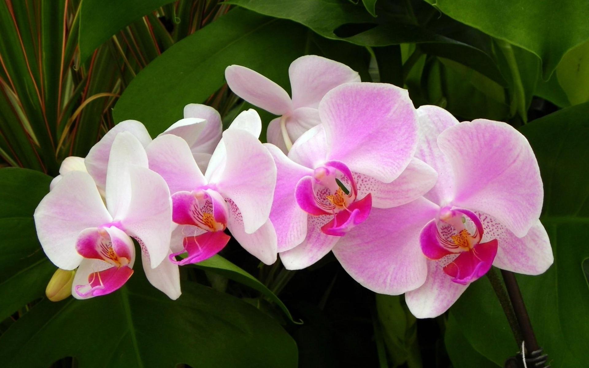 Orchidee Rose Fleurs Hd Fond D Ecran Apercu 10wallpaper Com