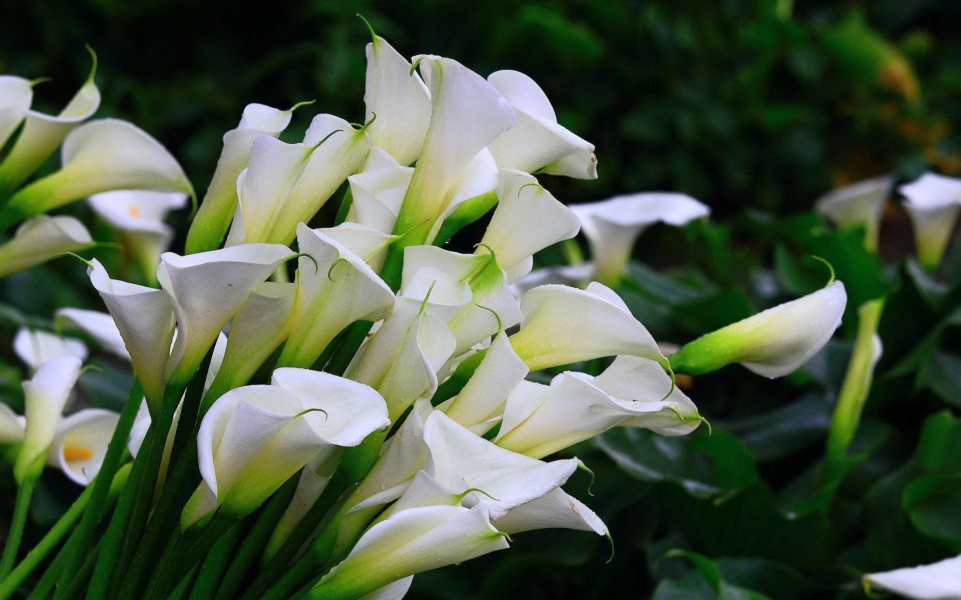 Фото цветов каллы большие