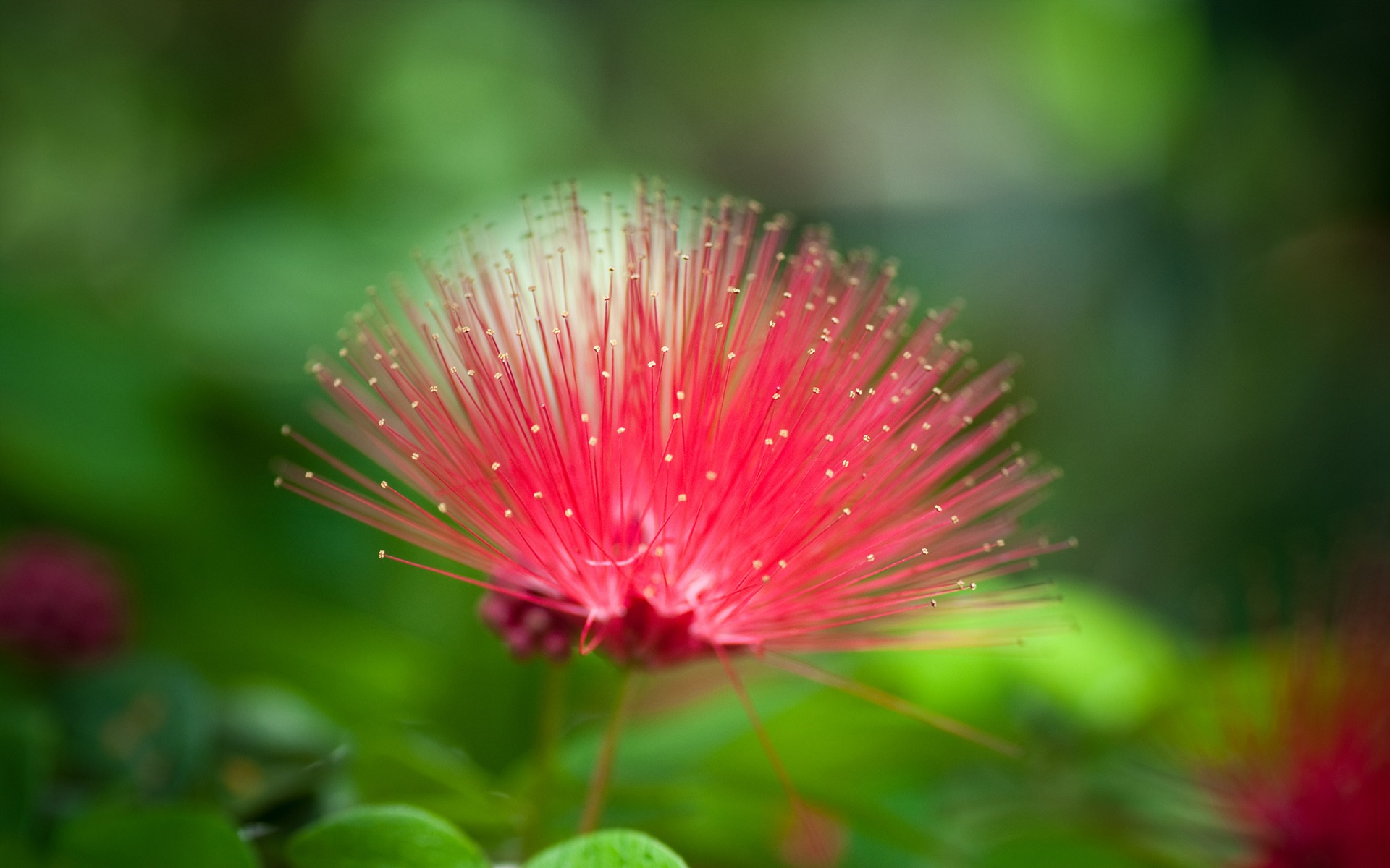 red mimosa flower hd -#main