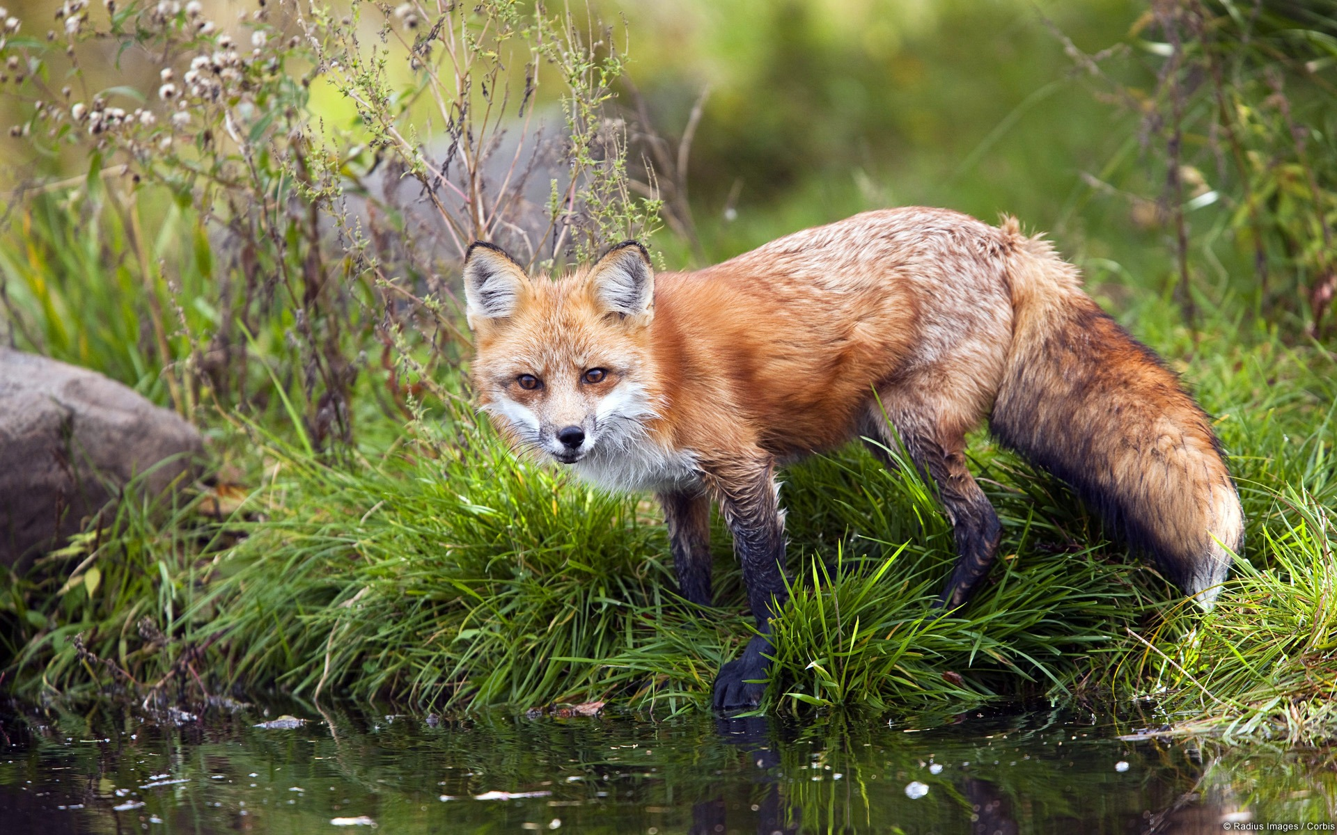 Red Fox Windows 10 Fondo De Pantalla Hd Avance 10wallpapercom