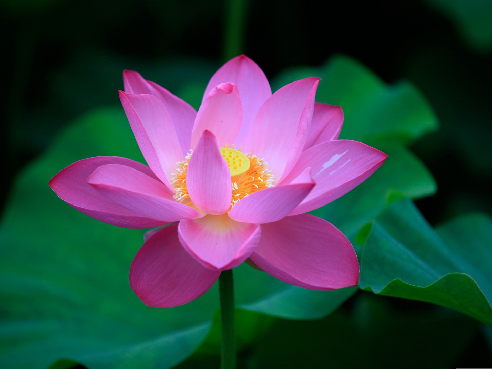 Lotus Flower Design Wall Paper : Lotus rose flowers photography desktop