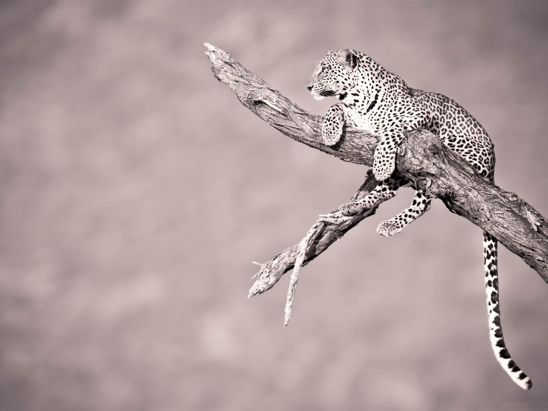 descriptif: jaguar-animal sauvage HD Wallpapers courant Taille: 1920 x ... T L Jaguar