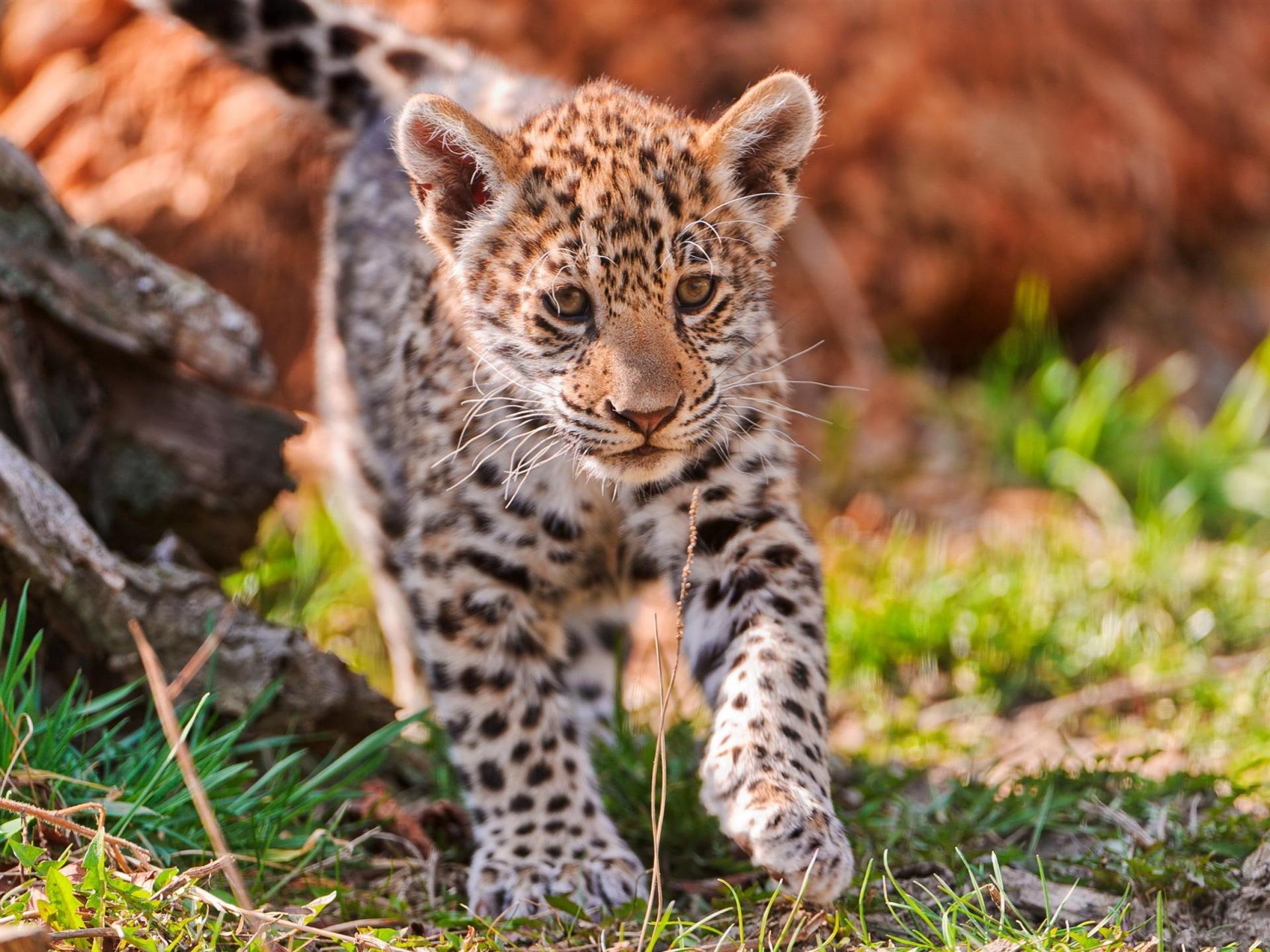 Jaguar b b animale photographie fond d 39 cran aper u - Bebe du jaguar ...