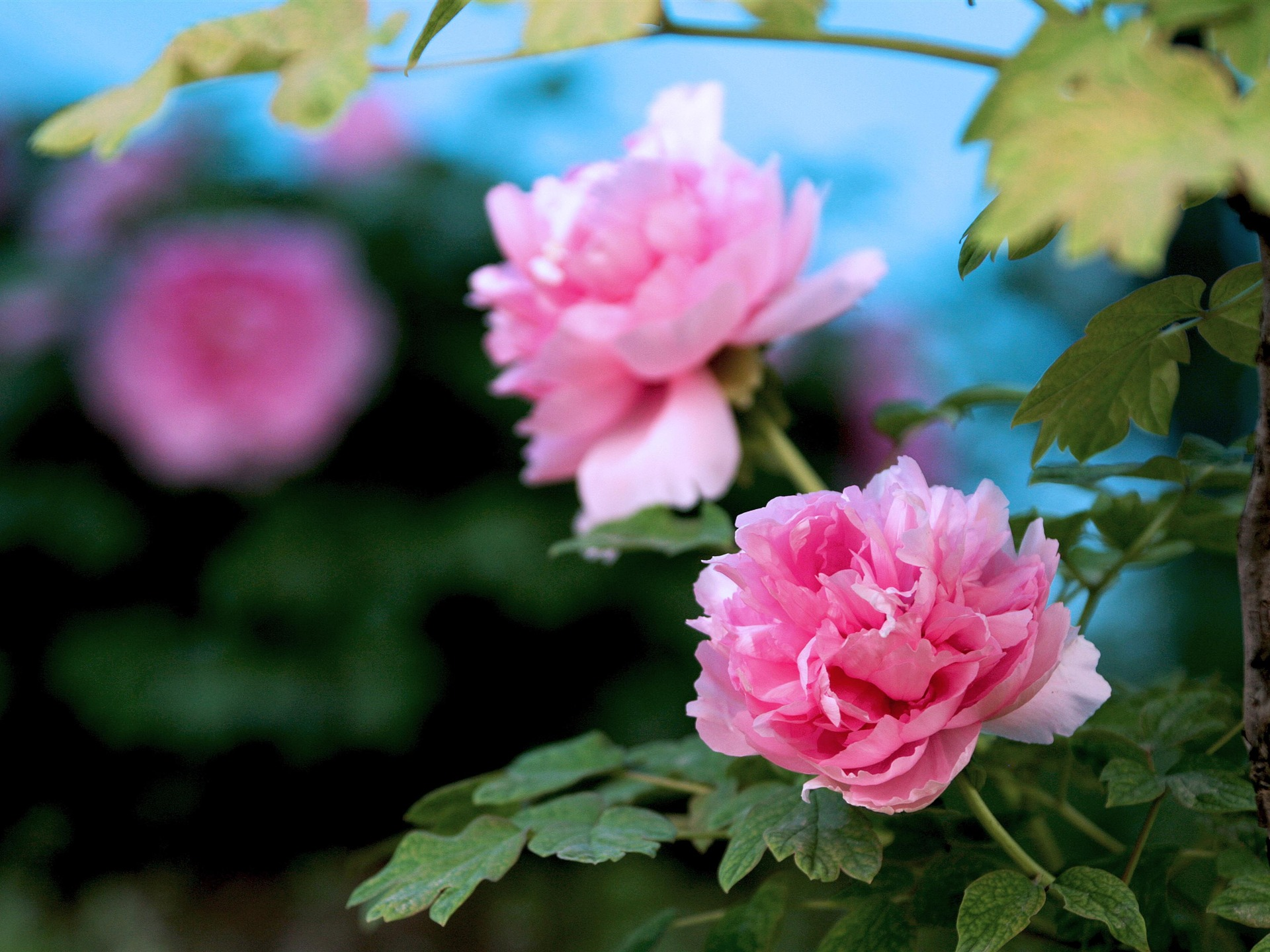 beautiful flowers bright peony flower photography