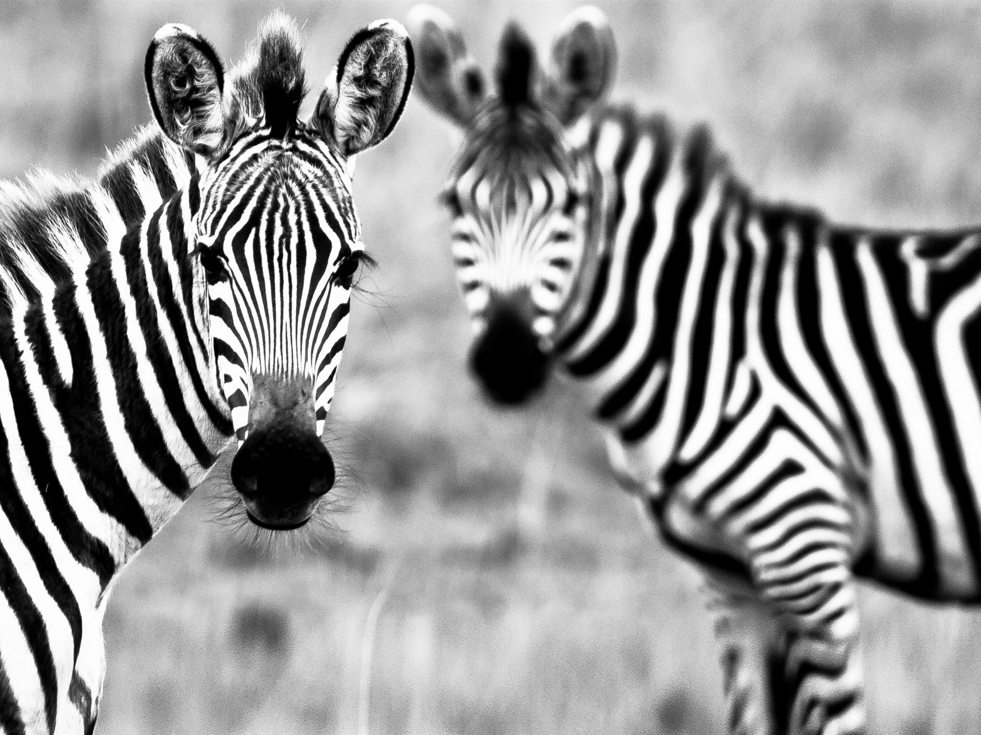 black white zebra animal high quality