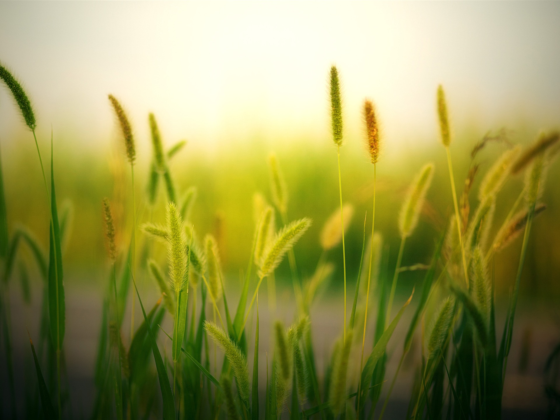 Setaria blur countryside cropland sunshine - 1920x1440 wallpaper download