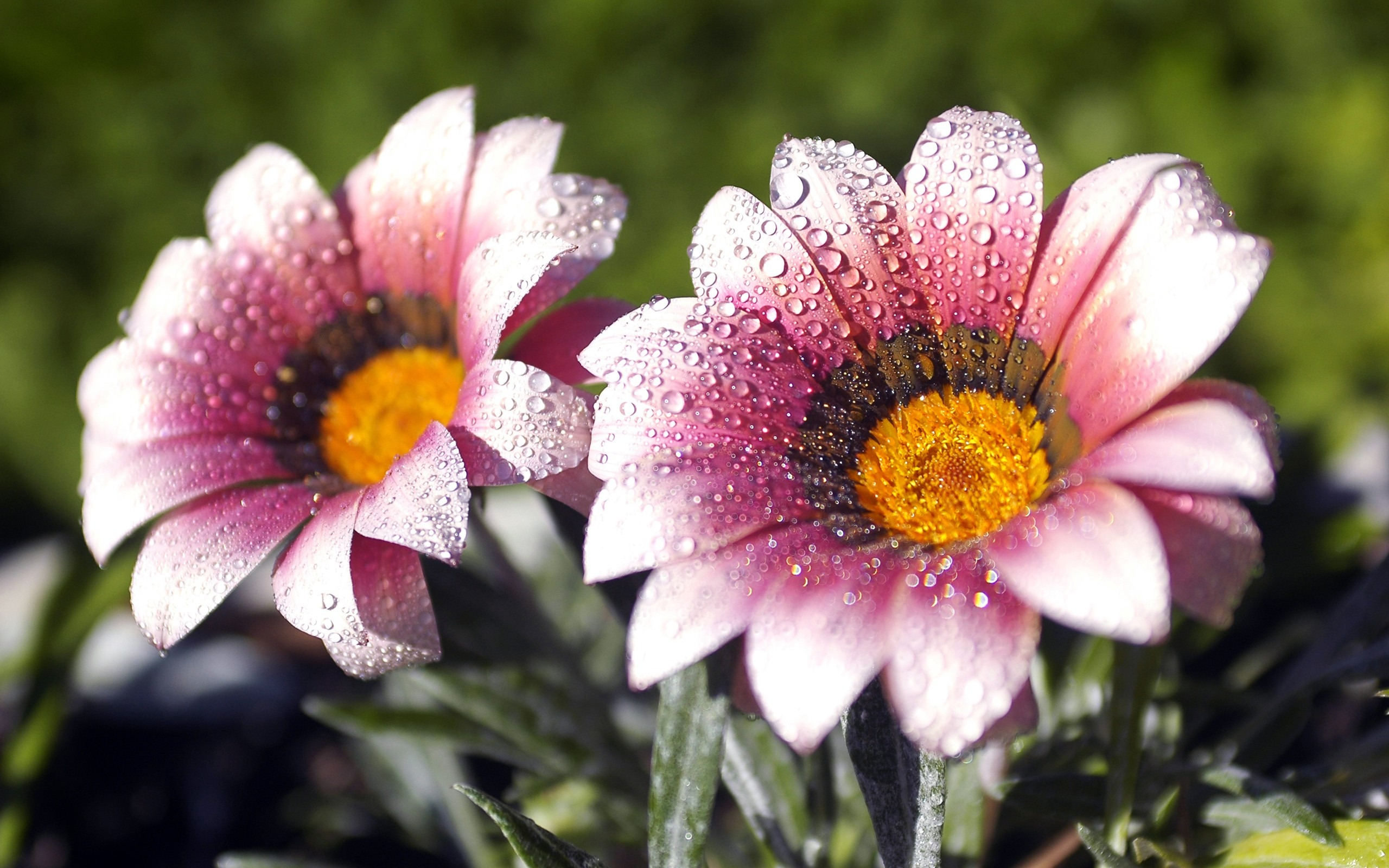 One Pair Of Purple Daisy September Flowers Wallpaper Preview