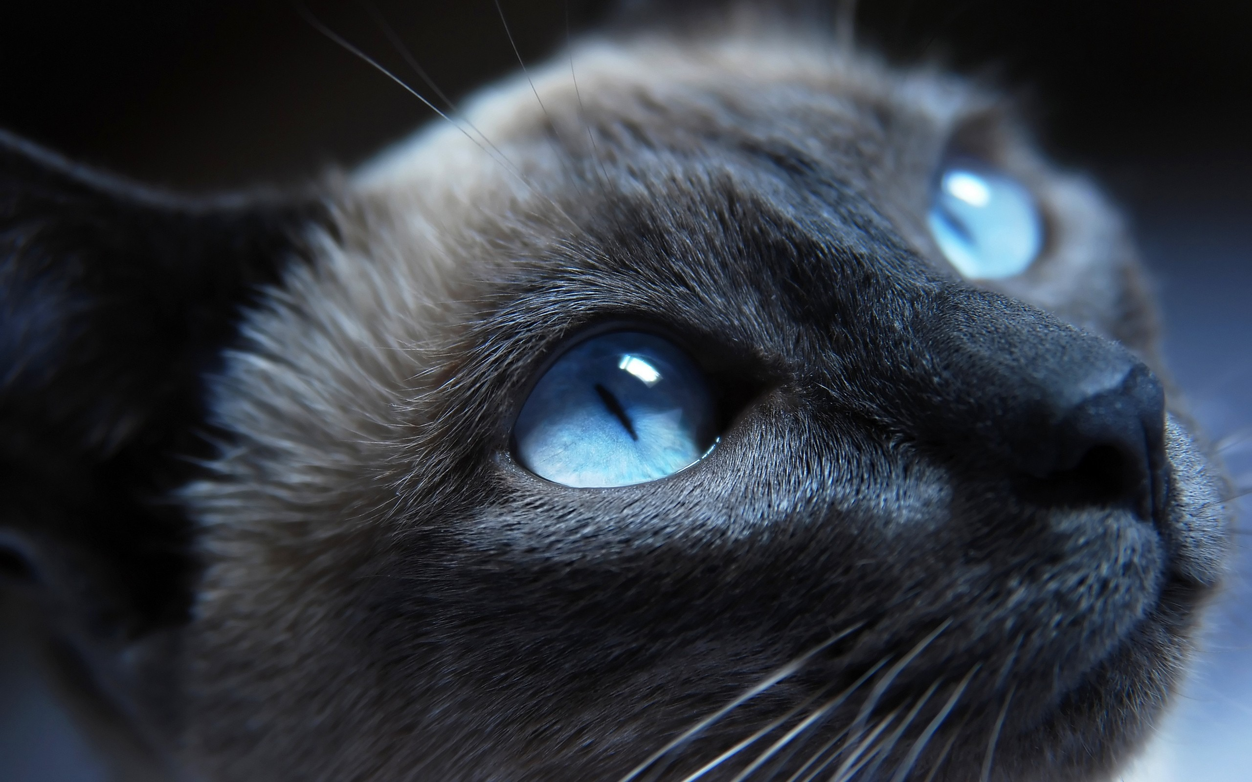 ブルーアイズと黒猫 かわいいキティの猫の生活壁紙プレビュー