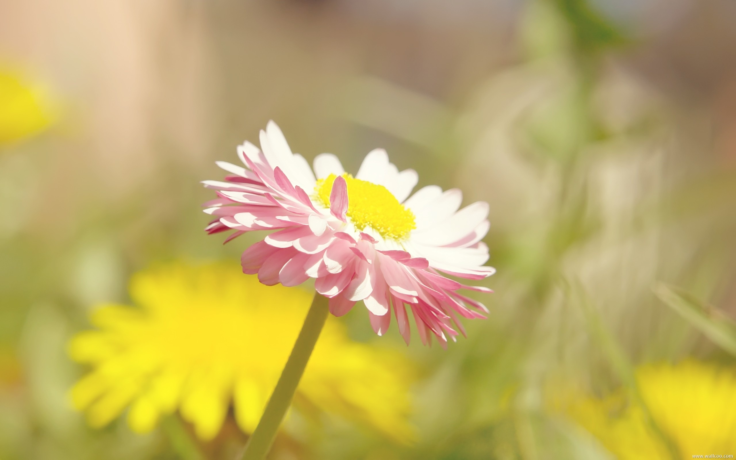 Little daisy fresh and natural flowers desktop wallpapers preview original resolution 2560x1600 izmirmasajfo
