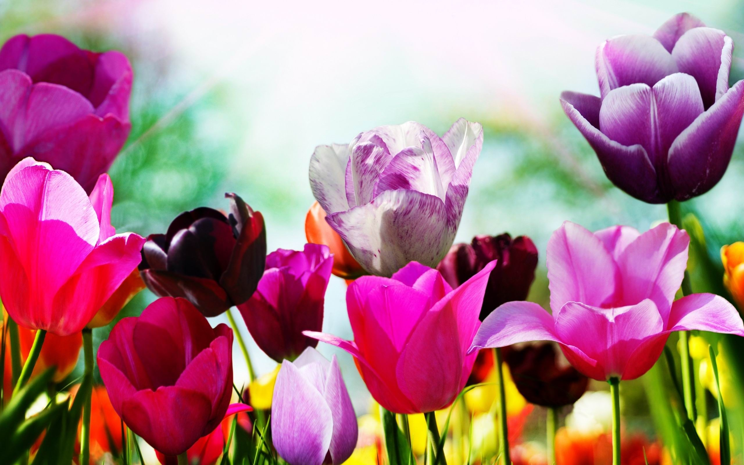 Tulips in spring flowers desktop wallpaper preview 10wallpaper spring flowers desktop wallpaper tulipsinspring flowersdesktopwallpaper2012520 original resolution 2560x1600 mightylinksfo