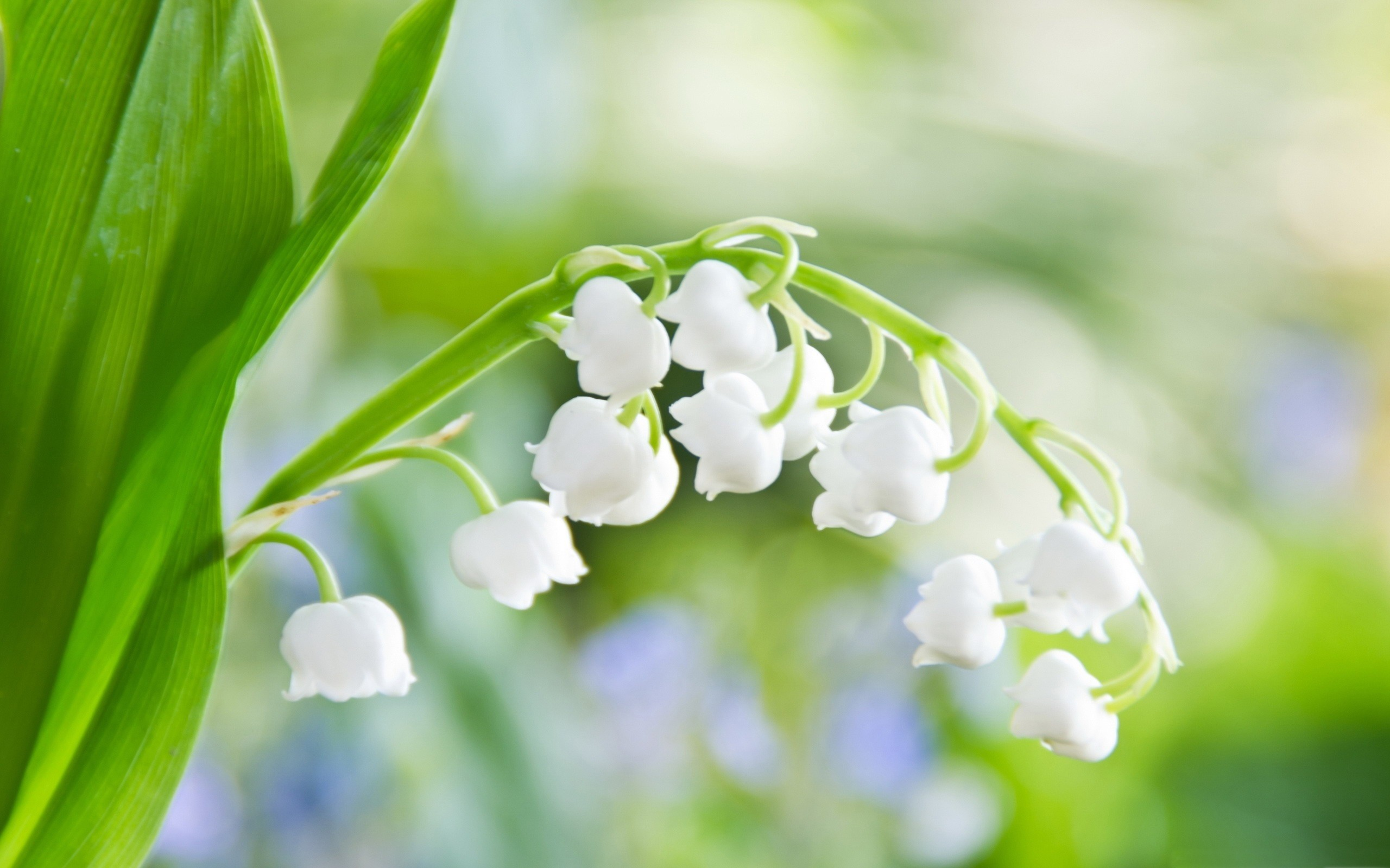 White lily of the valley flowers photography wallpaper 2560x1600 white lily of the valley flowers photography wallpaper 2560x1600 wallpaper download izmirmasajfo Gallery