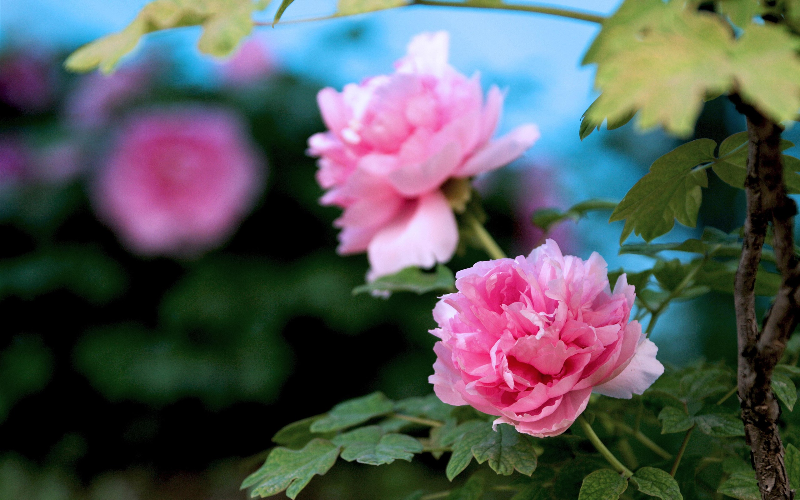 Beautiful Flowers Bright Peony Flower Photography Wallpapers Preview