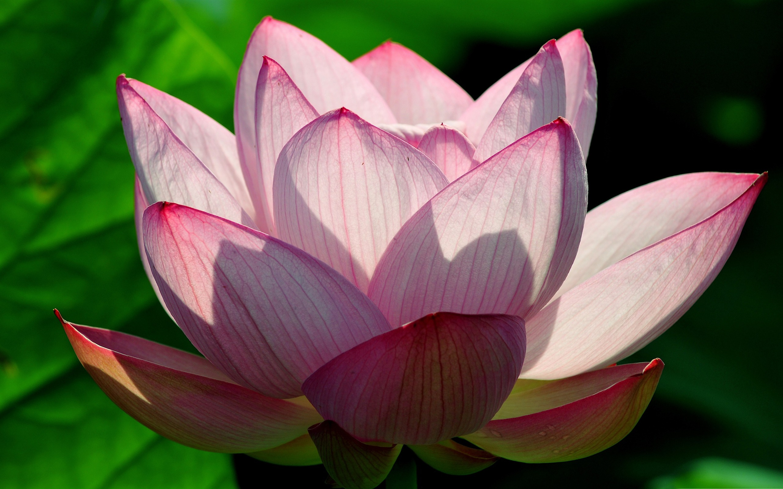 Pink Lotus Flower Photo Hd Wallpapers Preview 10wallpapercom