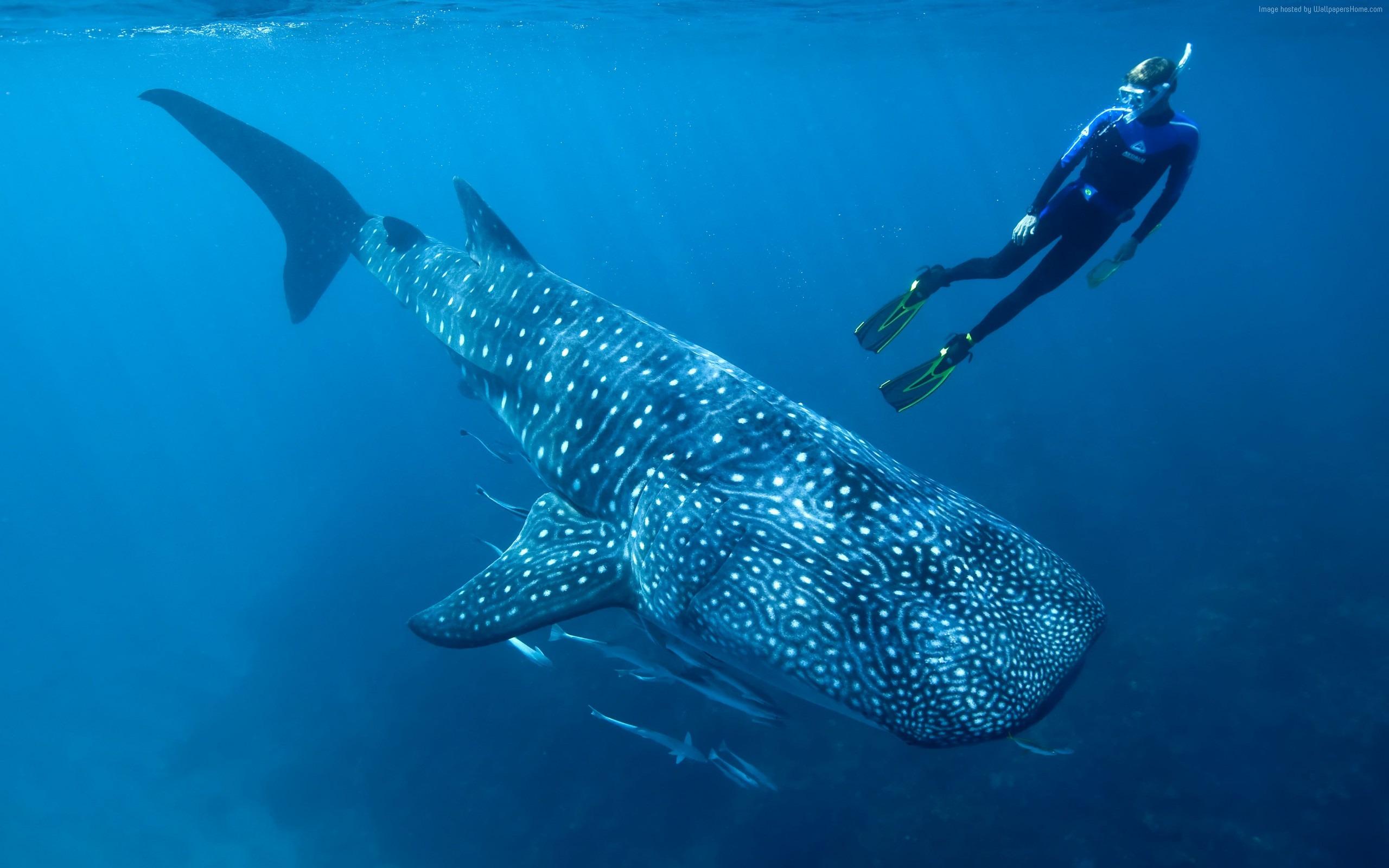 Requin Baleine Palau Indien Pacifique La Vie Marine Hd Fonds