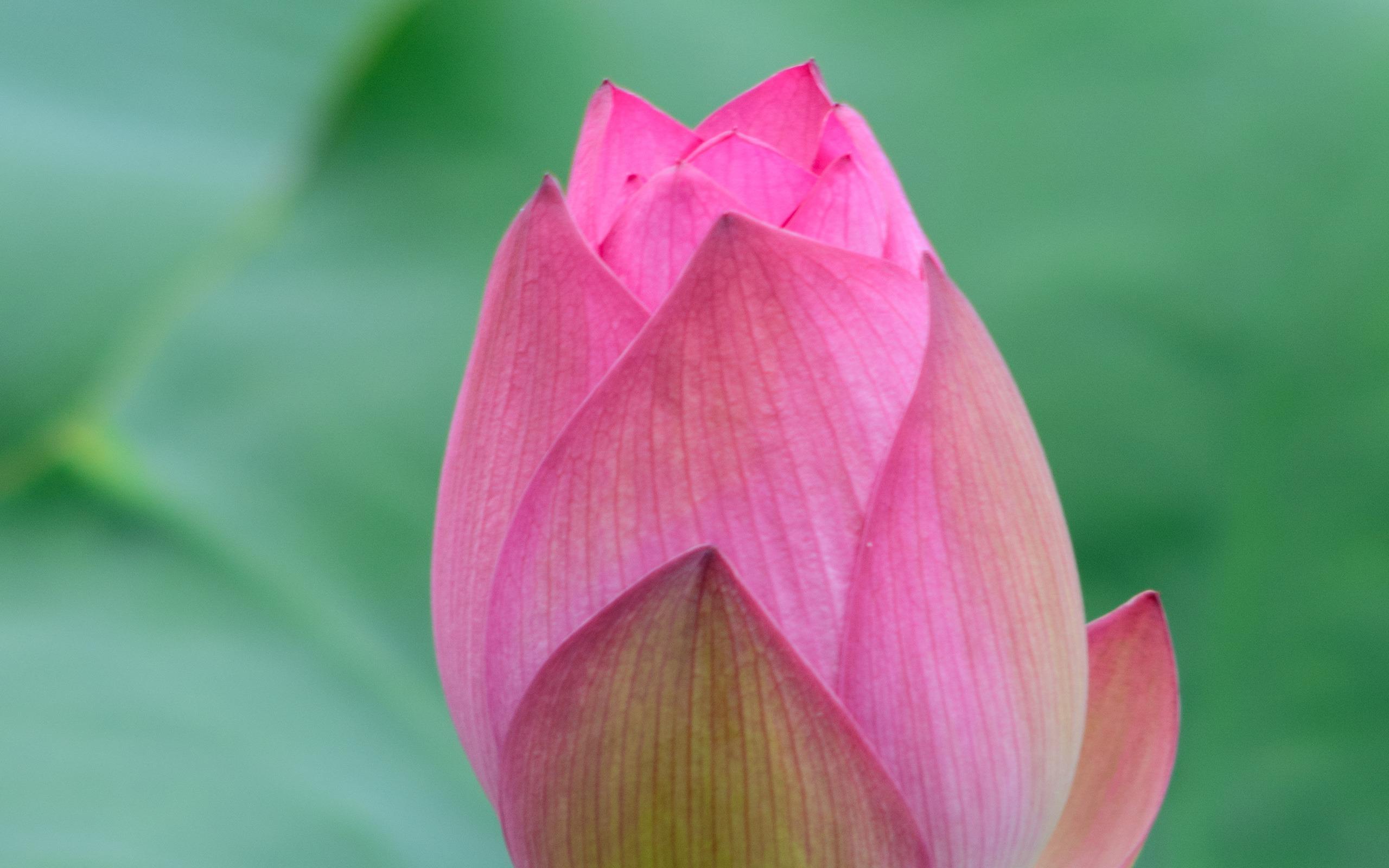 Summer Blooming Pink Lotus Flower Hd Wallpaper Preview 10wallpapercom
