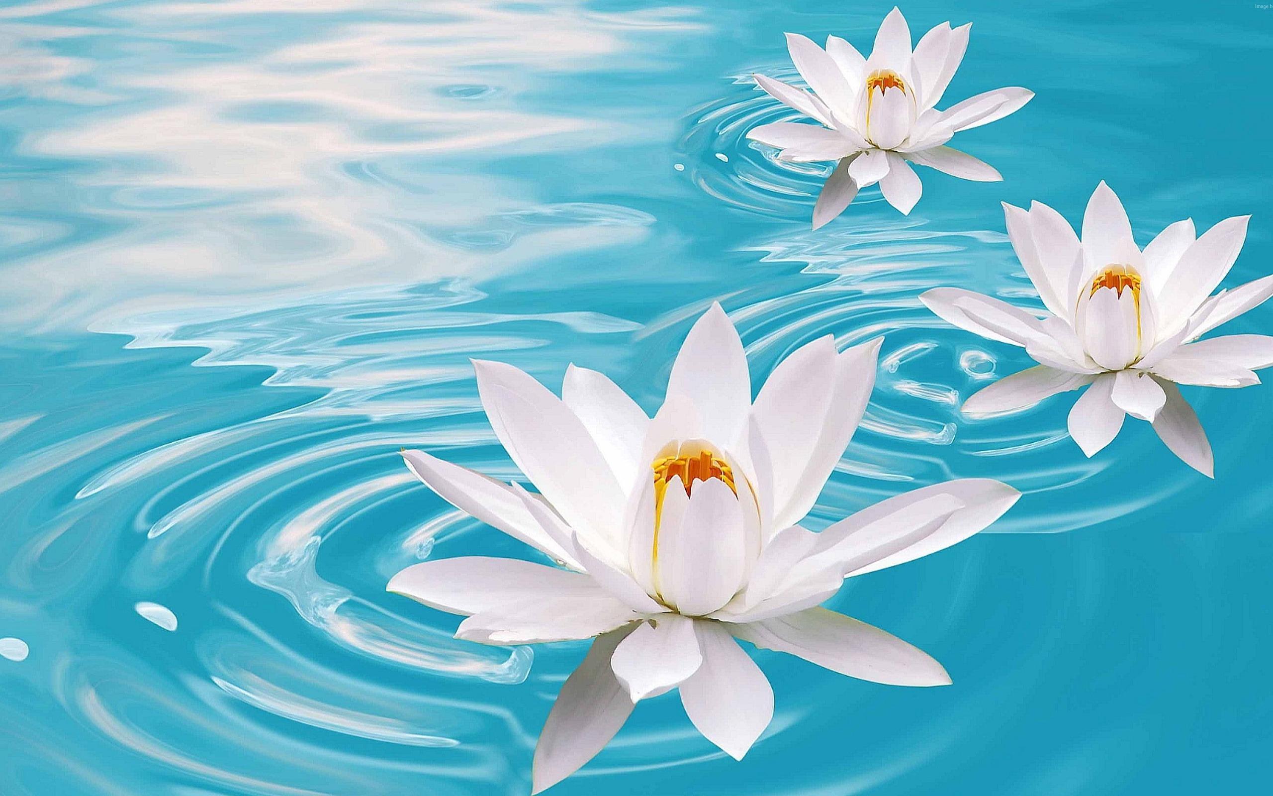 Fleur De Lotus Sur L Eau Photo Hd Fond D Ecran Apercu 10wallpaper Com