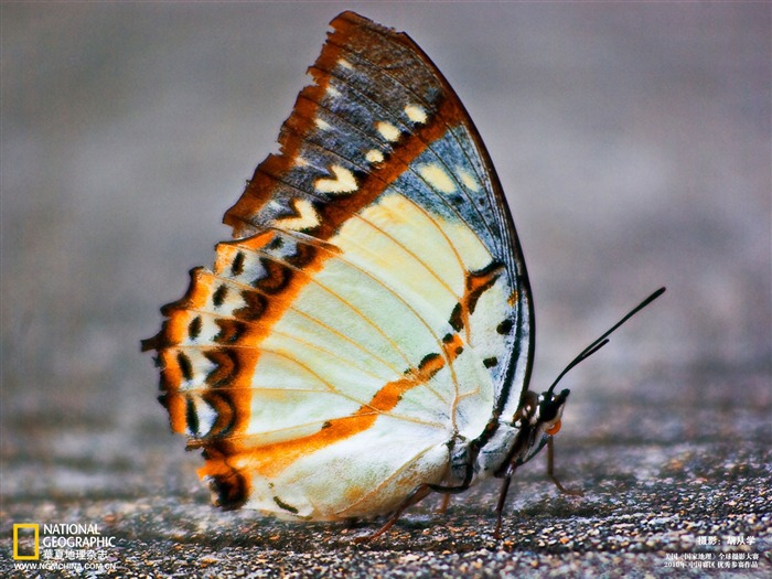 Butterfly Wallpaper Views:7960 Date:5/22/2011 10:28:36 PM