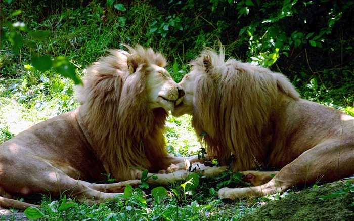 Finishing each others hair lion wallpaper Views:10300