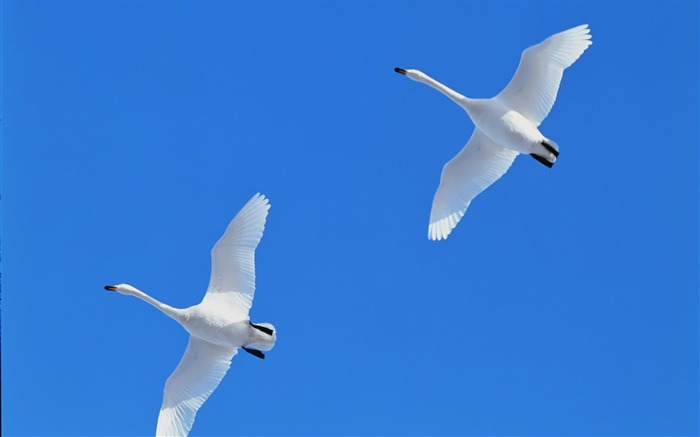 Flying the blue sky white swans wallpaper Views:8995