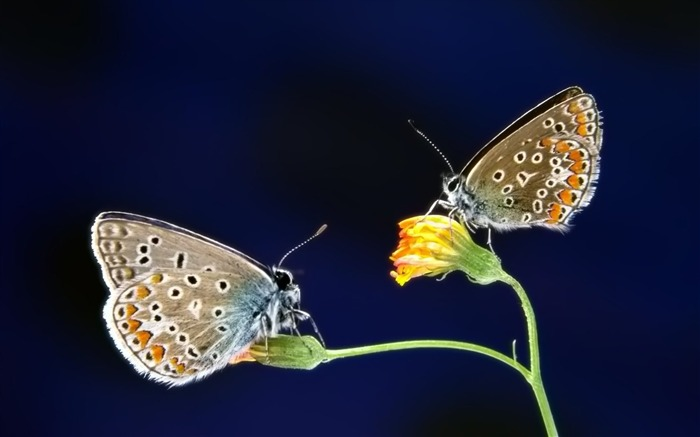 Pairs of butterfly wallpaper Views:6337