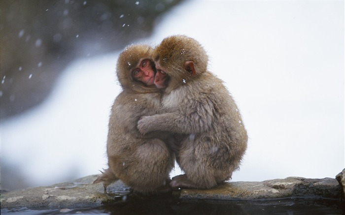 Snow hugged the monkey wallpaper Views:12427