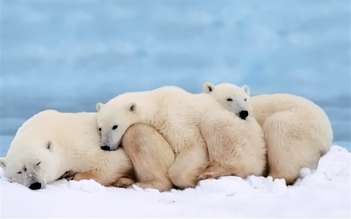 Snuggling with each other warm polar bear wallpaper Views:18995