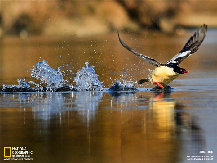 an exhibition Treasures Chinese merganser Wallpaper Views:6977 Date:5/22/2011 10:27:01 PM