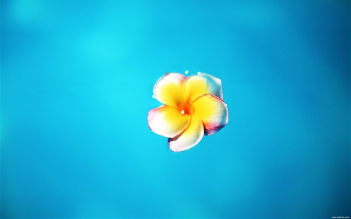 floating on the surface of the yolk flower wallpaper Views:5053
