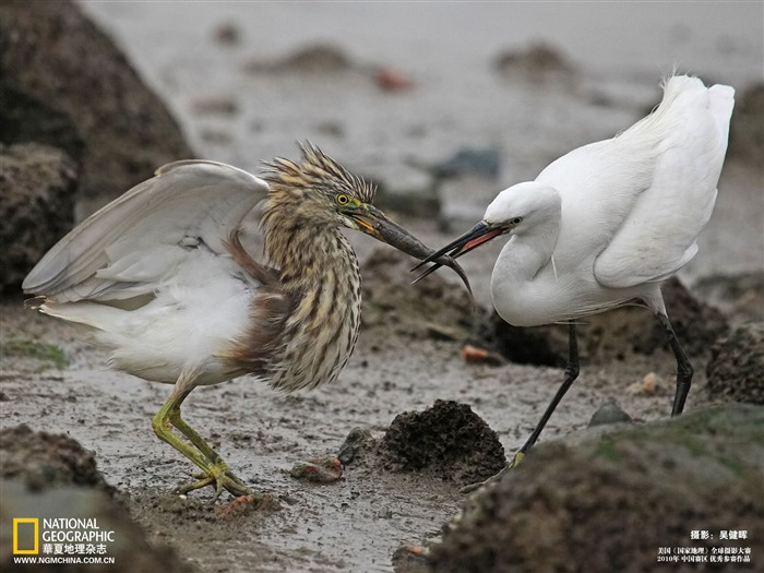 pond heron and egret contention wallpaper Views:4713