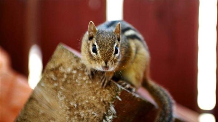A Curious Chipmunk - loveable Chipmunk Wallpaper 1 Views:3154 Date:6/9/2011 10:35:16 PM